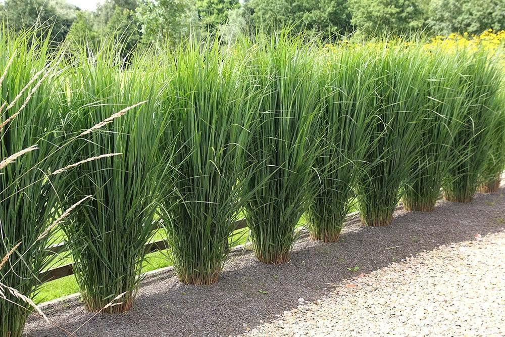 Siergrassen zijn makkelijk in onderhoud zijn sterk en for Tall grass looking plant