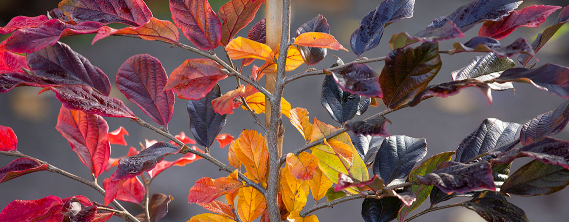Sycoparrotia resized.png